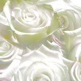 anne-montiel-roses-2008